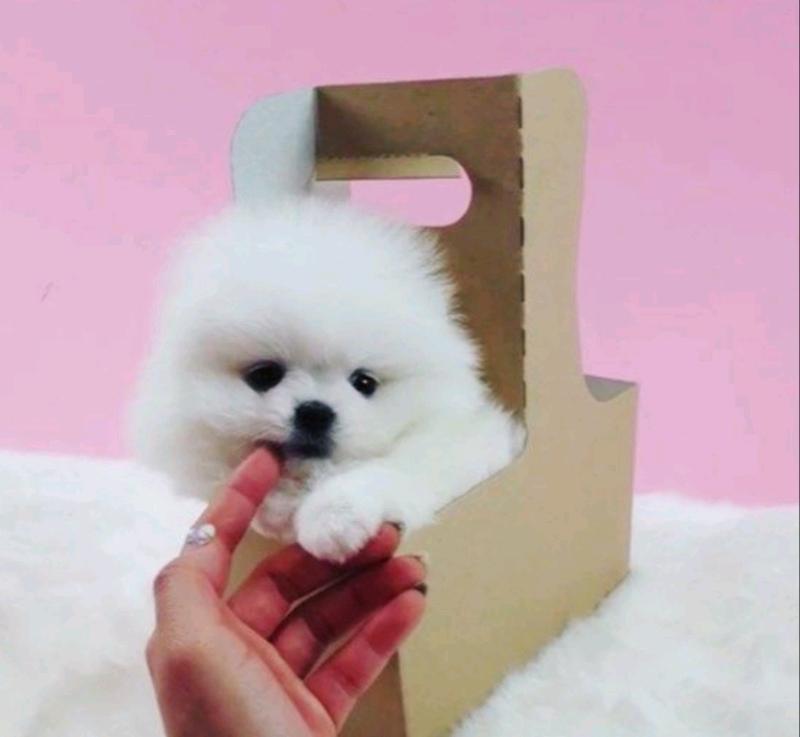 Disponibili cuccioli di spitz pomerania toy