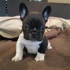 Cuccioli di Bulldog francese pronti per l'adozione