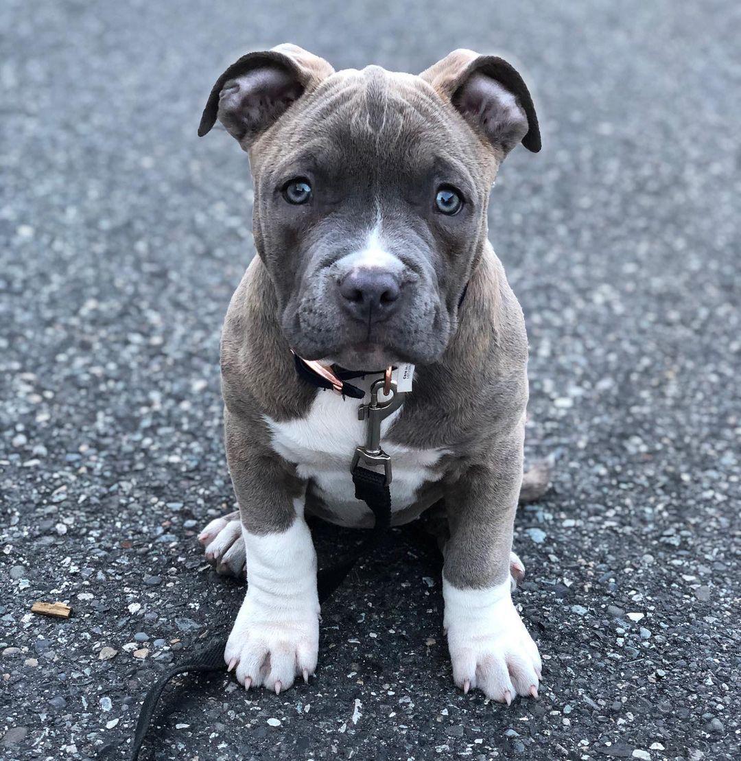 Cuccioli di PITBULL
