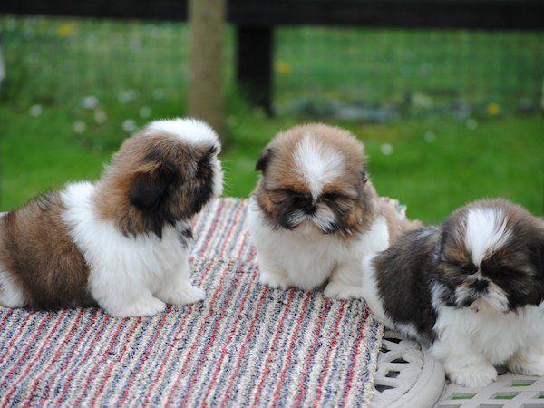 Cuccioli shih tzu vaccinati per nuove case